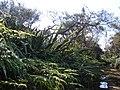 Starr-070405-6783-Phormium tenax-habit-Munro Trail-Lanai (24591796820).jpg