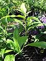 Starr-080103-1256-Cestrum nocturnum-leaves-Lowes Garden Center Kahului-Maui (24273738884).jpg