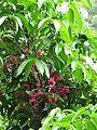 Starr-090618-1133-Syzygium malaccense-flowers and leaves-Honomanu Hana Hwy-Maui (24338884093).jpg
