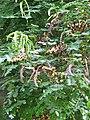 Starr-091104-0672-Adenanthera pavonina-leaves and seedpods-Kahanu Gardens NTBG Kaeleku Hana-Maui (24894134971).jpg