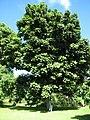 Starr-091104-0891-Castanospermum australe-habit with Forest-Kahanu Gardens NTBG Kaeleku Hana-Maui (24987789155).jpg