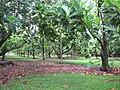 Starr-091104-8769-Artocarpus altilis-grove-Kahanu Gardens NTBG Kaeleku Hana-Maui (24870045422).jpg