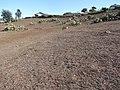 Starr-101005-9164-Opuntia ficus indica-habit in dry conditions-Kula-Maui (25054392695).jpg