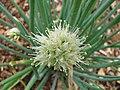 Starr-110411-4974-Allium fistulosum-flowers-Hawea Pl Olinda-Maui (24455693073).jpg