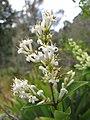 Starr-110609-6128-Ligustrum sp-flowers-Shibuya Farm Kula-Maui (25096779845).jpg