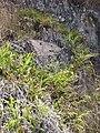 Starr-110920-9134-Pteris cretica-habit-Waiale Gulch-Maui (24486766493).jpg