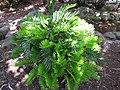 Starr-120522-6207-Zamia integrifolia-habit-Iao Tropical Gardens of Maui-Maui (24512641534).jpg