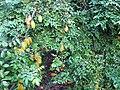 Starr-121108-0861-Averrhoa carambola-fruit and leaves-Pali o Waipio-Maui (24828858499).jpg