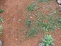 Starr-141217-5588-Dactyloctenium aegyptium-seeding habit-Lua Makika-Kahoolawe (24622687083).jpg