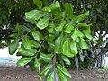Starr 031204-0003 Cupaniopsis anacardioides.jpg