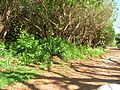 Starr 050516-1225 Schefflera actinophylla.jpg