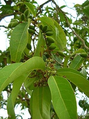 Oleeae - Nestegis sandwicensis