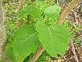 Starr 060325-6773 Nothocestrum latifolium.jpg