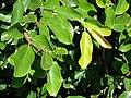 Starr 070111-3187 Ficus pumila.jpg