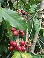 Starr 070617-7328 Coffea arabica.jpg