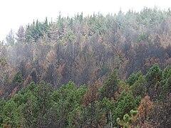 Pinus radiata - Wikipedia