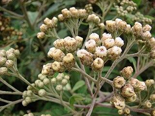 Pluchea genus of plants