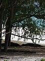 Starr 080608-7769 Casuarina equisetifolia.jpg