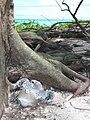 Starr 080614-8970 Casuarina equisetifolia.jpg