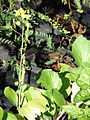 Starr 081031-0417 Brassica campestris var. chinensis.jpg