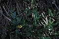 Starr 981215-2809 Lonicera japonica.jpg