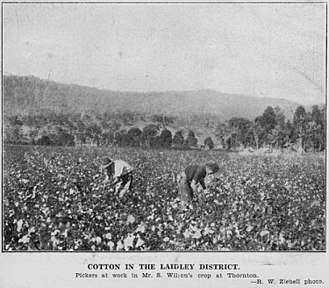 Thornton, Queensland - Picking cotton on S. Wilson's farm, Thornton