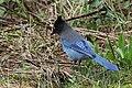 Stellers Jay (Cyanocitta Stelleri) (9357668345).jpg