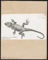Stellio vulgaris - 1700-1880 - Print - Iconographia Zoologica - Special Collections University of Amsterdam - UBA01 IZ12700069.tif