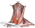 Sternothyroideus.png