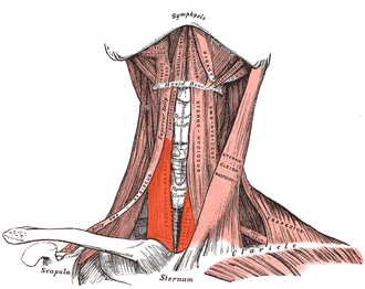Sternothyroid muscle - Sternothyroid visible center left