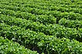Strawberry Fields In Carlsbad Ca (120852351).jpeg