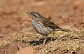 Striped pipit, Anthus lineiventris, at Walter Sisulu National Botanical Garden, Gauteng, South Africa (29478256445).jpg
