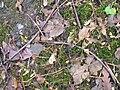 Stripped sycamore buds.JPG