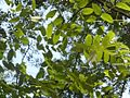 Styphnolobium japonicum, loof, Longwan Publieke Park, a.jpg