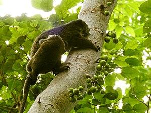 Sulawesi bear cuscus - Image: Sulawesi trsr DSCN0549 v 1