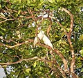 Sulphur-crested Cockatoos, Elevata River, Western Province, PNG (48837783252).jpg