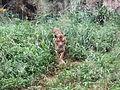 Sumatran Tiger Ragunan Zoo walking.JPG