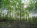 Sun and Trees Isar River Garching.jpg