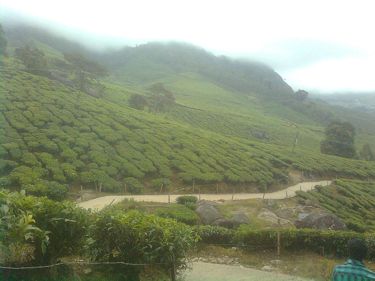 https://upload.wikimedia.org/wikipedia/commons/thumb/1/10/Suryanelli_Tea_Forest.jpeg/1280px-Suryanelli_Tea_Forest.jpeg