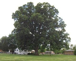 <i>Quercus michauxii</i> species of plant