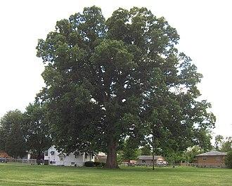 Quercus michauxii - Image: Swampchestnutoak 3