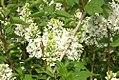 Syringa vulgaris 3zz.jpg