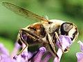 Syrphidae sp. on a flower.jpg