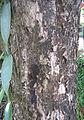 Syzygium cumini bark.jpg