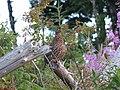 Tétras du Canada réserve de matane (2005-08).JPG