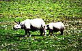 THE MOTHER- A female Rhino with her cub at Pobitora Wildlife Sanctuary, Assam.jpg