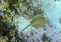 Taeniura lymma St John Reef 081.jpg