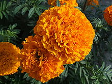 Tagetes. Vilkija, Kaunas district, Lithuania.