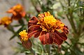Tagetes patula Flower 2.jpg