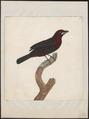 Tanagra jacapa - 1700-1880 - Print - Iconographia Zoologica - Special Collections University of Amsterdam - UBA01 IZ15900217.tif